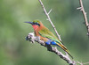 Another species of bee-eater, Red-throated, also at Murchison. Our group recorded 8 species of bee-eaters on the tour in 2010.  (Photo by guide Phil Gregory)