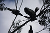 Black-and-white Casqued Hornbill in silhouette overhead at Bigodi: this pair was involved in some sort of courtship.  (Photo by guide Phil Gregory)
