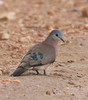 This obliging Emerald-spotted Wood-Dove was at Lake Mburo. This species is found in the dry areas of southwest Uganda. In much of Uganda we see Blue-spotted, with Black-billled Wood-Dove at Murchison.  (Photo by guide Phil Gregory)