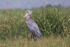 It's the quintessential bird of any successful Uganda tour: the bizarre Shoebill! This year our searches were successful both at Mabamba and along the Victoria Nile at Murchison, where we found the bird above.  (Photo by guide Phil Gregory)