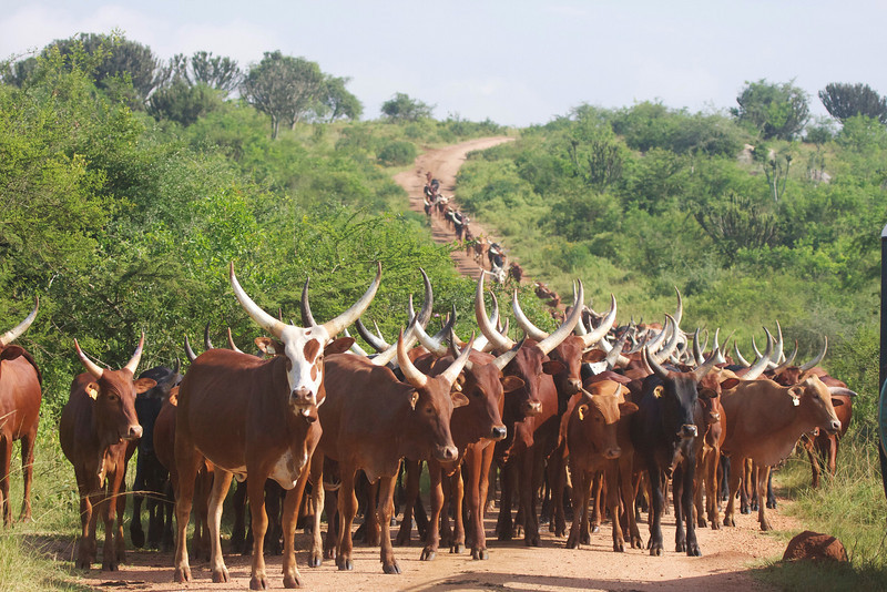 Ankole cattle at Lake Mburo, remarkable for their terrific horns. Judging by the size of it, this is the herd of a wealthy man.  (Photo by guide Phil Gregory)