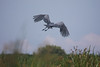 Shoebill in flight along the Victoria Nile at Murchison—somewhat prehistoric.  (Photo by guide Phil Gregory)