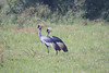 A pair of elegant Gray Crowned Cranes  (Photo by guide Phil Gregory)