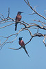 A pair of Northern Carmine Bee-eaters at Murchison Falls NP  (Photo by guide Phil Gregory)