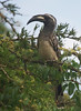 Gray Hornbill at Lake Mburo: this species is widespread in dry thorn scrub in Uganda.  (Photo by guide Phil Gregory)