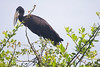 The widespread African Openbill has its strange beak for catching snails. The species is fairly widespread in wetlands in Uganda.  (Photo by guide Phil Gregory)