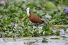 """The African Jacana walks on floating vegetation. Jacanas are sometimes known as lily-trotters. <div id=""""caption_tourlink"""" align=""""right"""">[photo © guide Phil Gregory]</div>"""