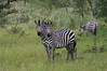 "Burchell's Zebra<div id=""caption_tourlink"" align=""right"">[photo © guide Phil Gregory]</div>"