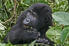 """A fantastic highlight of course is the visit to see the Mountain Gorillas. The experience of being in the presence of our close relatives can alter how you see yourself and your place in nature. It is no exaggeration to say that the experience can be so emotional that tears have been shed in the company of gorillas. <div id=""""caption_tourlink"""" align=""""right"""">[photo © participant Paul Thomas]</div>"""