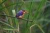 """A gorgeous Malachite Kingfisher: in the Old World the kingfishers are diverse, and they are very colorful members of the avifauna. <div id=""""caption_tourlink"""" align=""""right"""">[photo © guide Phil Gregory]</div>"""