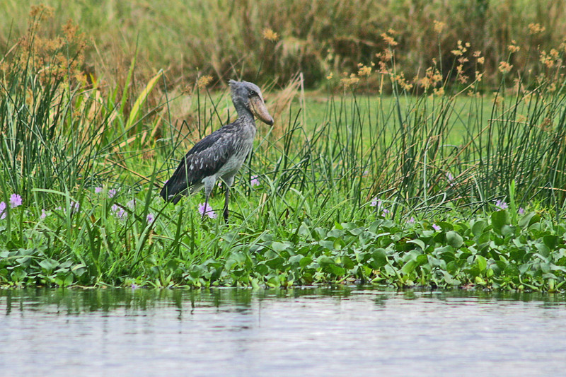 """THE bird of this tour is the Shoebill, pictured here. It's a stork-like wader which is actually more closely related to pelicans and in its own family, of course. But do not think this tour is a one-trick pony; there is so much else to see that in the end this oddball bird will seem just like the icing on a rather awesome cake. <div id=""""caption_tourlink"""" align=""""right"""">[photo © participant Paul Thomas]</div>"""