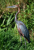 "There are plenty of waterbirds to see, and the following photos show a good diversity of these. This is the Goliath Heron, the largest heron in the world. <div id=""caption_tourlink"" align=""right"">[photo © guide Phil Gregory]</div>"