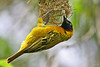 """Weavers are named for the nests they make, fancy woven baskets. This is the Lesser Masked-Weaver. <div id=""""caption_tourlink"""" align=""""right"""">[photo © participant Paul Thomas]</div>"""