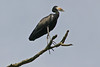 """The African Open-billed Stork has a gap in the bill when it is closed -- the source of the bird's odd name. <div id=""""caption_tourlink"""" align=""""right"""">[photo © participant Paul Thomas]</div>"""