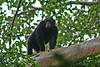 """Another one of our relatives in the animal world -- a Chimpanzee makes an entrance. <div id=""""caption_tourlink"""" align=""""right"""">[photo © participant Paul Thomas]</div>"""