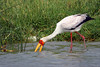 "A Yellow-billed Stork <div id=""caption_tourlink"" align=""right"">[photo © participant Paul Thomas]</div>"