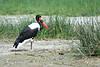 "A Saddle-billed Stork <div id=""caption_tourlink"" align=""right"">[photo © participant Paul Thomas]</div>"