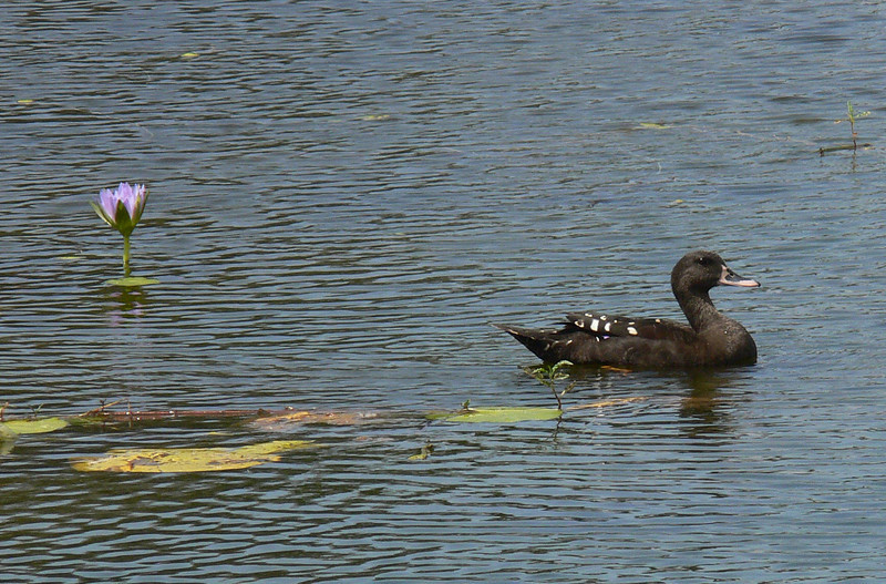"The African Black Duck is not closely related at all to the North American Black Duck -- it just happens to be a duck that is dark. <div id=""caption_tourlink"" align=""right""> [photo © participant Marge Barrett]</div>"