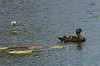 """The African Black Duck is not closely related at all to the North American Black Duck -- it just happens to be a duck that is dark. <div id=""""caption_tourlink"""" align=""""right""""> [photo © participant Marge Barrett]</div>"""