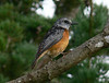 "Miombo Rock-Thrush <div id=""caption_tourlink"" align=""right""> [photo © participant Marge Barrett]</div>"