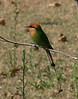"Boem's Bee-eater -- while many of the bee-eaters eat any old flying insect, some specialize on bees and wasps. <div id=""caption_tourlink"" align=""right""> [photo © participant Marge Barrett]</div>"