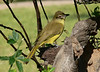 "Yellow-bellied Greenbul <div id=""caption_tourlink"" align=""right""> [photo © participant Marge Barrett]</div>"