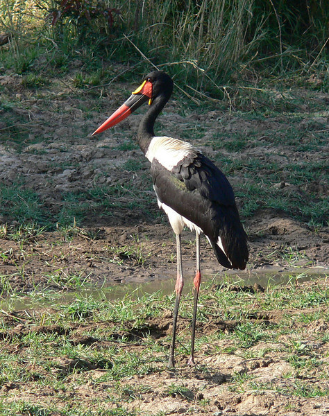 "The Saddle-billed Stork definitely has one of the oddest names of any bird, yet it is surprisingly accurate -- the bill does look like it has a saddle on it. <div id=""caption_tourlink"" align=""right""> [photo © participant Marge Barrett]</div>"