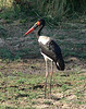 """The Saddle-billed Stork definitely has one of the oddest names of any bird, yet it is surprisingly accurate -- the bill does look like it has a saddle on it. <div id=""""caption_tourlink"""" align=""""right""""> [photo © participant Marge Barrett]</div>"""