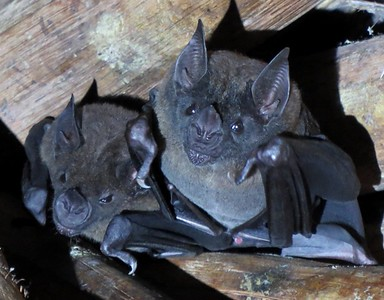 These Lesser Bulldog Bats, which feed in part on fish, were found roosting in a thatched hut on the Blue-billed Curassow Reserve in Colombia. Bulldog bats, sometimes called fishing bats, are often seen hunting near emerging Oilbirds along the Rio Claro on several Colombia tours. (Photo by guide Trevor Ellery.)