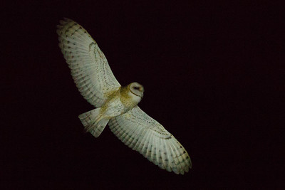 As night creatures, owls have no use for bright colors in their plumages, which mix browns, grays, and rusts, usually so that they are well camouflaged and may roost undisturbed during the daytime. The familiar Barn Owl is among the more brightly plumaged of the owls and occupies a different family from most, Tytonidae. The cosmopolitan Barn Owl is a bird we might encounter on perhaps 100 of our itineraries! This one was on our New Mexico in winter tour. (Photo by guide Doug Gochfeld.)