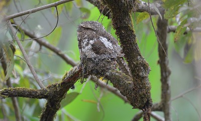 Finding a frogmouth on its nest is a red-letter day! This wisp-headed Hodgson's Frogmouth was a thrill to see in the northern mountains on a recent Thailand tour. Some frogmouths do hunt in open areas, but many are interior-forest birds and thus difficult to see well at night. (Photo by participant Fred Dalbey.)