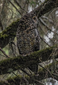 The near-mythical Abyssinian Owl, restricted to Afromontane forests of Ethiopia, looks rather like the widespread Long-eared Owl but is massive, as large as an eagle-owl! This species has been recorded four times now on our Ethiopia tour. (Photo by participant Becky Hansen.)