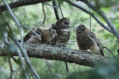 Just remember: owls and other night creatures are just like other animals, with basic need for wild habitats in which to feed and raise young. No reason to be afraid of the dark! Or is there....? Happy Halloween to all!  (Photo of Mexican Spotted Owls in southeastern Arizona by participant Daphne Tsui.)