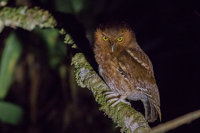 Some owls are quite range-restricted, such as this Santa Marta Screech-Owl, a newly described species from the Santa Marta Mountains of northern Colombia. The wispy filoplumes of the facial disc presumably help small owls like this one to navigate through dense forests as well as to sense prey items such as flying insects. (Photo by guide Tom Johnson.)