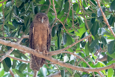 The Old World has a charming rogue's gallery of nightbirds as well, some quite different from those of the New World. This Rufous Owl, photographed on the Australia tour, seems to be considering how to dispatch the photographer. (Photo by guide Cory Gregory.)