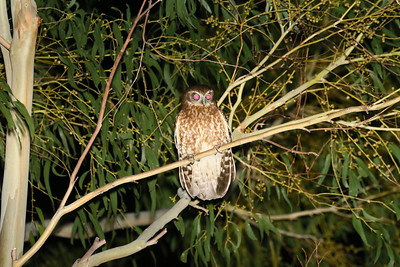 "Also in Australia, this smaller Southern Boobook is placed in the same genus (Ninox) as Rufous Owl but hunts smaller prey. ""Boobook"" is close to the aboriginal Darug name for this owl. (Photo by participant Cliff Hensel.)"