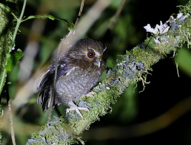 Long-whiskered Owlet is a truly tiny owl, nearly as small as the world's smallest owl (Elf Owl). Recently discovered, this species occurs only in a small area of northern Peru, where a lodge has been built to accommodate birders eager to see this enigmatic denizen of remote cloudforest. (Photo by guide Jesse Fagan.)