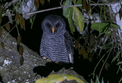 The first time we venture out to prowl for owls, it can be unsettling. Unfamiliar sounds in the darkness, some near, some far, can set off primal fears--old instincts that helped our distant ancestors survive. But owls, like this Black-banded Owl in Suriname, are not omens of ill, as some cultures have held. They are creatures splendidly adapted to take over for other raptors once night has fallen. (Photo by participant Randy Siebert.)