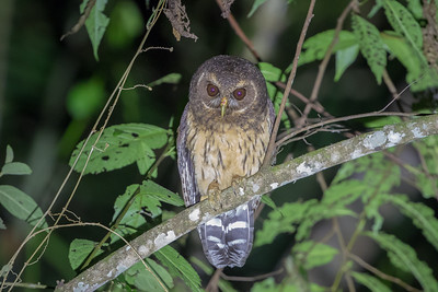Some owls that we seek on tours hunt strictly at night, so we listen for them carefully, and if we are fortunate enough to find one, we can use a flashlight briefly, to appreciate the bird's plumage. This is a Mottled Owl, a widespread medium-sized species found from Mexico to Argentina, here in Colombia. (Photo by guide Cory Gregory.)