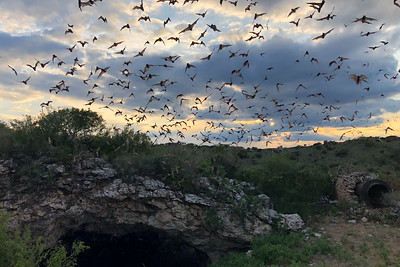 On many tours, birds are not the only nocturnal creatures that find their way onto the checklist--bats and other mammals do as well. These Brazilian Free-tailed Bats emerge each night in the millions from caves near Rio Frio in central Texas. A picnic dinner catered by the Field Guides office enables the Texas's Big Bend & Hill Country tour to enjoy the spectacle from beginning through nightfall. Among these millions, we often even see a few albino individuals! (Photo by guide Cory Gregory.)