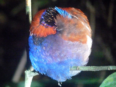And every once in a while, we do see something colorful at night. This is a sleeping Blue-headed Pitta at Borneo Rainforest Lodge, curled up into a ball! (Photo by guide Rose Ann Rowlett.)