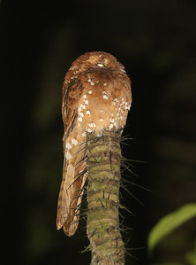 Potoos are little-known birds in general, and some species, such as this rainforest-dwelling Rufous Potoo on the Rio Roosevelt tour in Brazil, have never been studied. (Photo by participant Steve Rannels.)