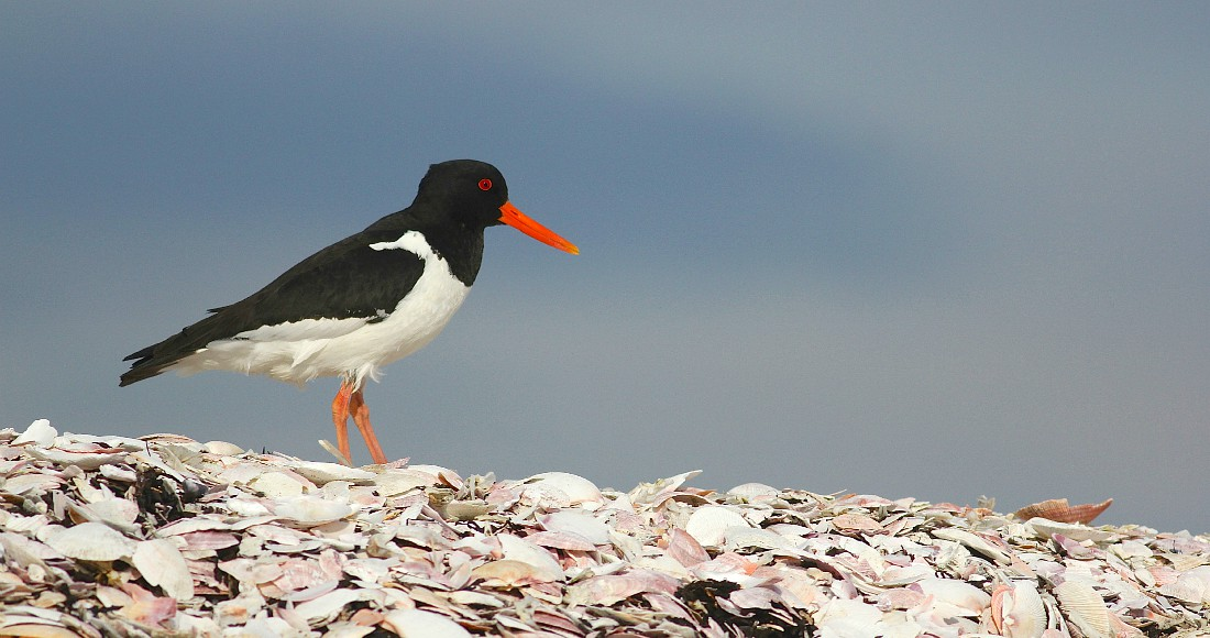 Eurasian Oystercatcher in Iceland by guide Eric Hynes. Next departure: June 20-29, 2017.