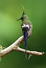 Wire-crested Thorntail 3 wsu15b Larry Peavler