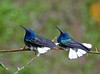 And Costa Rica is likewise home to the widespread White-necked Jacobin. These males enjoying a quick shower were photographed by Max Rodel on the Holiday Costa Rica tour.
