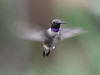 Perhaps your first hummingbird was a Ruby-throated in the East, or a Black-chinned, like this one, in the West. When the eye is caught by the diffracted color of the male's gorget for the first time, there is a moment of disbelief at the intensity of the ruby or the violet. Photograph by David and Judy Smith, Arizona's Second Spring tour.