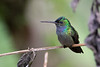 It's in Costa Rica, too, that you might find yourself charmed by the likes of Charming Hummingbird, if not the most colorful, then often the most confiding (here by hummingbird-whisperer, guide Tom Johnson).
