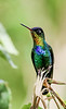 Costa Rica and western Panama share the knee-weakening Fiery-throated Hummingbird, in which the male's throat and breast seem to replicate the rainbow. Photograph by Mark Shocken on the Western Panama: Chiriqui & Bocas del Toro tour.