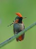 On Trinidad, too, Ken Trease captured this photograph of a darling male Tufted Coquette visiting flowers at the venerable Asa Wright Nature Centre, where our tours lodge and regularly see this species.
