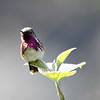 ...and a Wine-throated Hummingbird in Guatemala by participant Mary Lou Barritt...